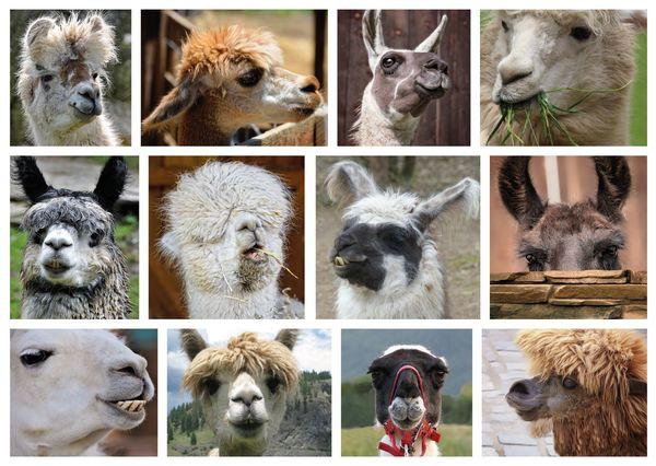 Funny lamas postcard an139c