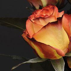 Sárga rózsa képeslap