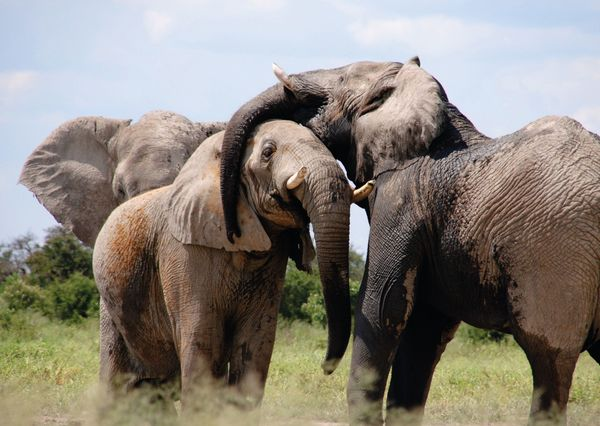 An142c elephant postcard