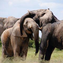 Afrikai elefánt, képeslap