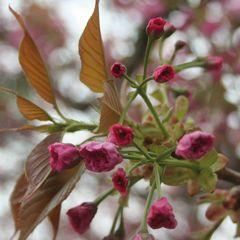 Prunus serrulata - flower postcard
