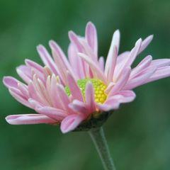 Daisy - flower postcard