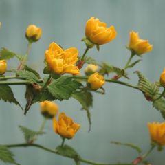 Kerria japonica - flower postcard