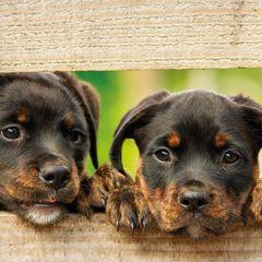 Rottweiler kölykök - képeslap