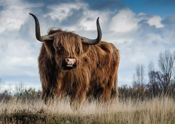 Bull postcard an101c