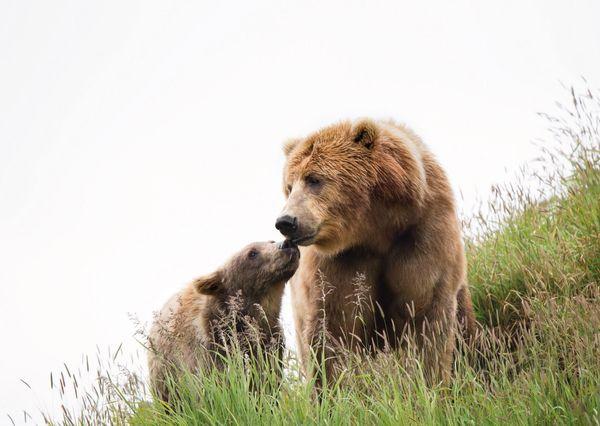 Brown bears postcard an105 01c