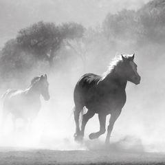 Galoppierende Pferde Postkarte
