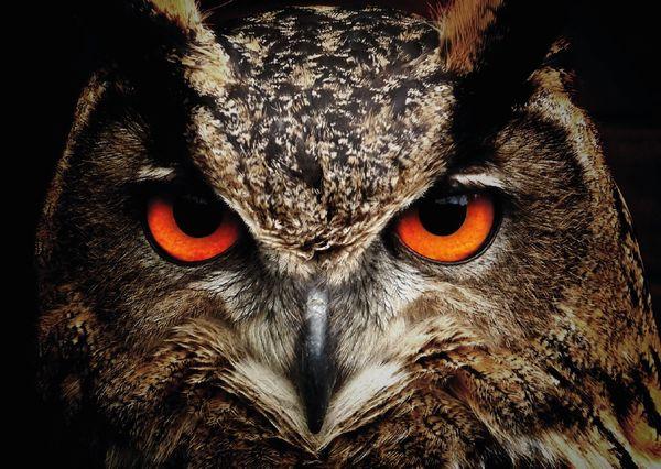 Owl postcard an113 01c