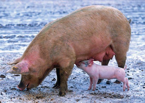 Pig postcard an103 01 01c
