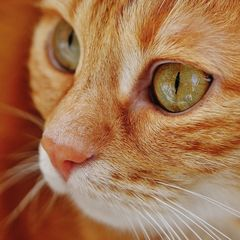Rote Katze Postkarte