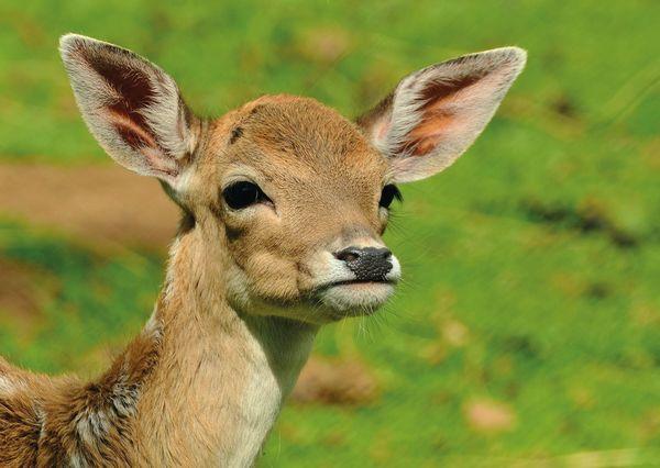 Roe deer postcard an106 01c