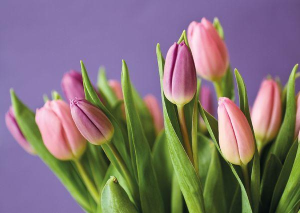 Pink tulips fl104 01c
