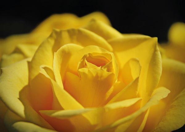 Yellow rose fl101 01c