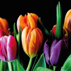 Colorful Tulips Postcard
