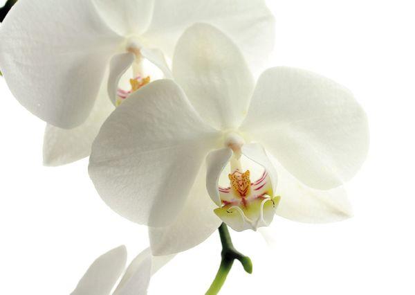 Orchid postcard fl107 01c