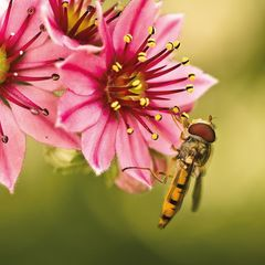 Hoverfly Postcard