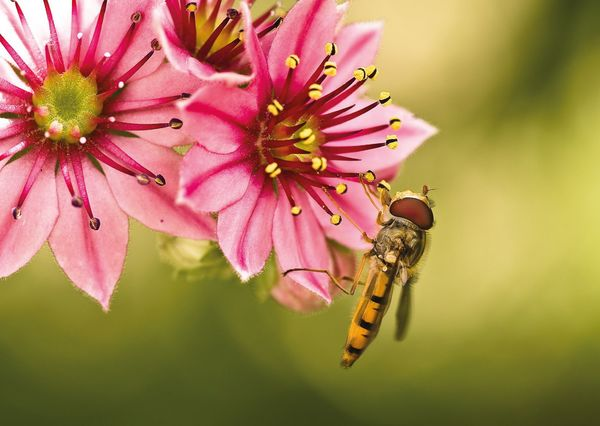 Hoverfly postcard fl102 01c