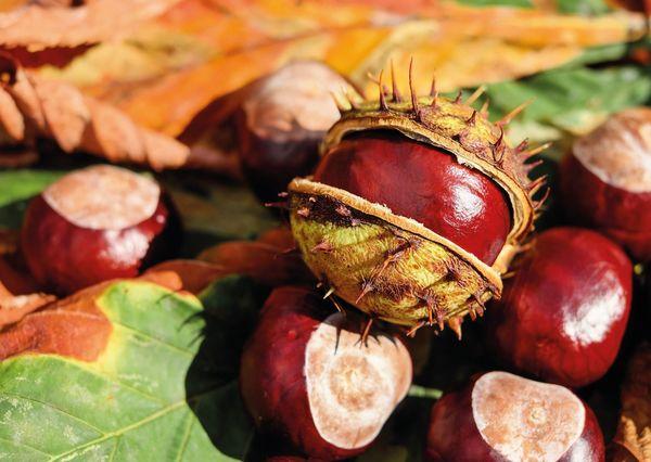 Horse chestnut nt101 01c