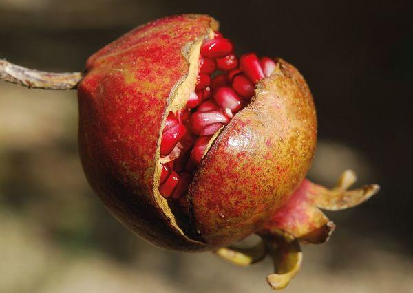 Pomegranate postcard ga110 01c