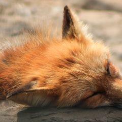 Fuchs - Postkarte