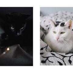 Black and White Cats - Postcard