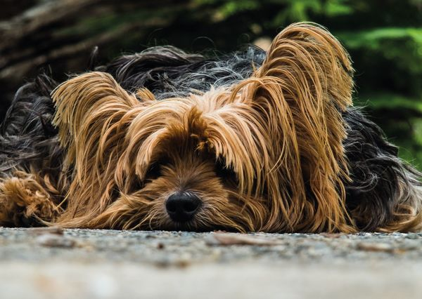Yorkshire terrier postcard an129c