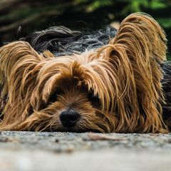 Yorkshire Terrier - Postcard
