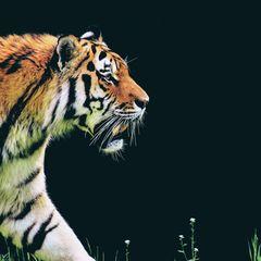 Tiger - Postkarte