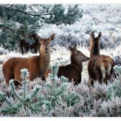 Reindeers - Postcard