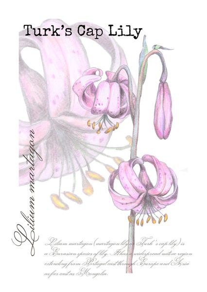Turks cap lily postcard bo101c