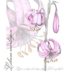 Turk's Cap Lily - Postcard