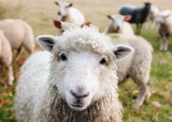 Sheep postcard an136c