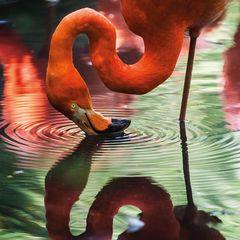 Flamingo - Postkarte